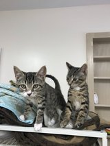 2 Female Spayed Kittens in Fort Campbell, Kentucky