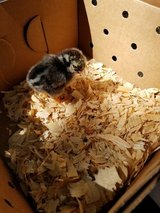 Lots of 3 day old baby chicks for sale, multiple breeds available in Rolla, Missouri