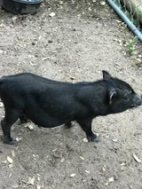 Pot bellied pig 4 months old (male) in Conroe, Texas