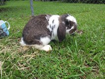 Rabbits mini lops in Conroe, Texas