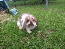 Mini lop rabbits in The Woodlands, Texas