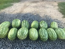 Watermelons in Leesville, Louisiana