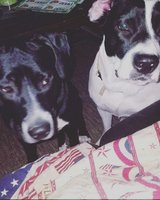 Needing Foster or ReHome for two Dogs in Fort Campbell, Kentucky