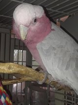 Galah Cockatoo for Sale in Fort Knox, Kentucky