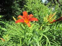 Red Day-lily Plant #2 Pot in Naperville, Illinois