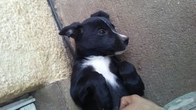 puppy for sale in Lawton, Oklahoma