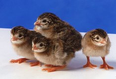 Are you interested in Guineas- baby keets/chicks? $ 9.99 each or 10 for $70-Friday- JULY 27, 6:0... in Fort Lewis, Washington