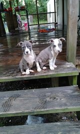 American bully females in Leesville, Louisiana