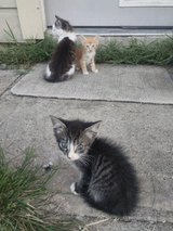 Free Kittens w/ shots and fixed!!! in Kingwood, Texas