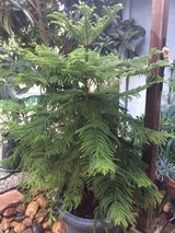 Tall Norfolk Island Pine (live) in Vacaville, California