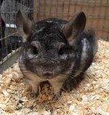 1.5 Year Old Standard Grey Female Chinchilla Up for Adoption To Experienced Home in Chicago, Illinois