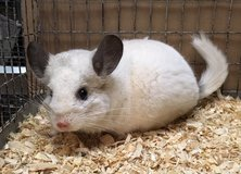 2 Year Old Predominantly White Mosaic Male Chinchilla in Chicago, Illinois