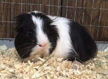 Adult Male Silky / Sheltie Mix Guinea Pig -- Willy in Chicago, Illinois
