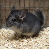 3 Month Old Standard Grey Male Chinchilla Kit (baby) in Chicago, Illinois