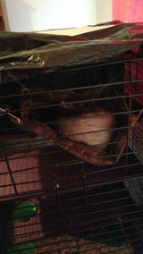 ferret w/ cage and wood chips in Baytown, Texas