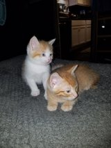 2 male kittens in Hinesville, Georgia