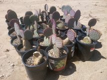 Prickly Pear Cactus--Santa-Rita Tubac (Purple) in 29 Palms, California