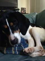 Coco Beautiful Coonhound in Fort Knox, Kentucky