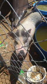 Pot belly pig w kennel in 29 Palms, California