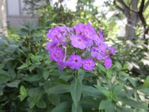 Purple Tall Perennial Phlox Flower Plants in Westmont, Illinois