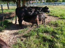 Angus cattle in DeRidder, Louisiana