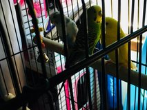 3 Parakeets with Cage in Fort Lee, Virginia