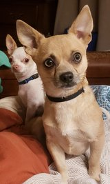 Pending pickup 2 Year old Chihuahua free in Clarksville, Tennessee
