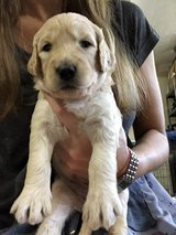 Goldendoodle Puppies in Clarksville, Tennessee