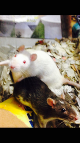 2 female PET rats in Clarksville, Tennessee