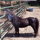 Registered Minature horse stallion in Fort Campbell, Kentucky