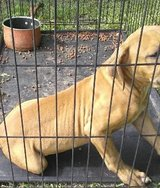 3 month old male Blue/fawn pitbull in Camp Lejeune, North Carolina