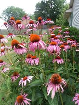 Echinacea(Coneflower)  Just a few remaining!! in Chicago, Illinois