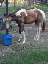 Paint Filly in DeRidder, Louisiana