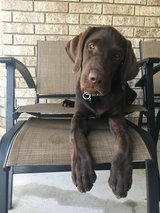 4 month old male Chocolate Labrador in Fort Hood, Texas
