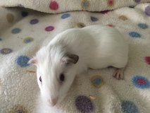 Guinea pig baby boy in St. Charles, Illinois