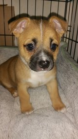 Terrier Mix Puppies in Fort Campbell, Kentucky