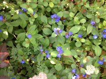 Plumbago Ground Cover in Bartlett, Illinois