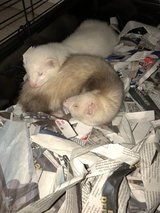 Rehoming Ferrets in Tacoma, Washington