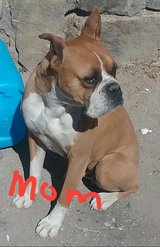 Boxer pups recommended for ptsd in Fort Bliss, Texas