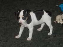 Rat terrier puppy in Cleveland, Texas