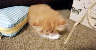 Orange Ragdoll (persian) in Fort Polk, Louisiana
