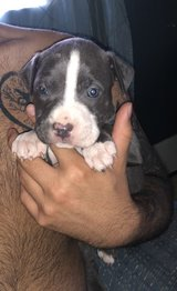 PitBull Puppies! in Fort Polk, Louisiana