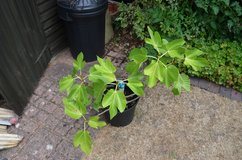 Fig tree in pot with figs growing Ficus Carica 70 cm high (2 foot 3) in Lakenheath, UK