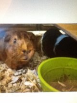2 Guinea Pigs w/cage in Kingwood, Texas