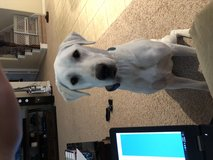 AKC white lab in Spring, Texas