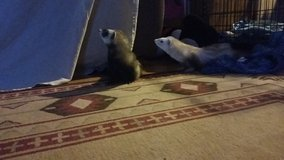 2 ferrets, comes with everything. in Ruidoso, New Mexico