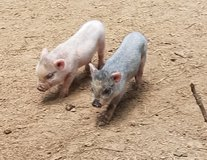 Mini potbelly piglets in Kingwood, Texas