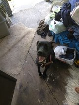 Red nose pitbull mixed with hound an boxer in Fort Polk, Louisiana