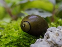 Olive nerite snails, 0.50 cents or 5 for $2 in Bolingbrook, Illinois