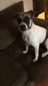 Sheppard mix pup 5 months old female in Fort Leonard Wood, Missouri